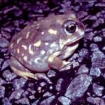 H.albopuinctuatta1