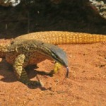 Yellow Spotted Monitor_WA