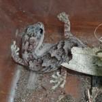 Western Marbled Gecko