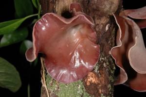 SC_fungi_ Malerny Rainforest