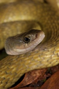 "SW-keelback- so called ""banana form"""