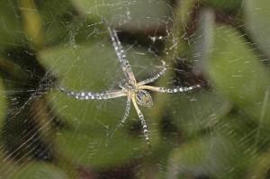 Inverted Orb Weaver spider species?
