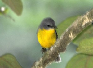 Yellow Bird (Robin?)