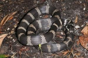 Stephen's banded Snake hoplocephalus stephensi